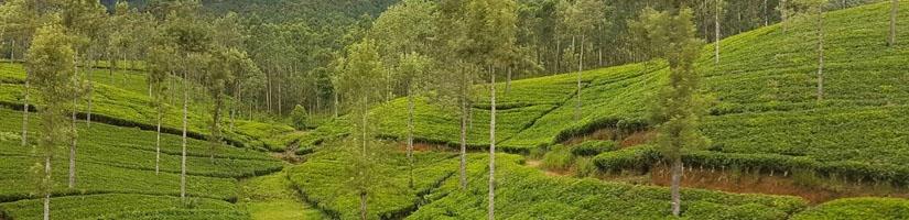 Grüner Tee aus Indien